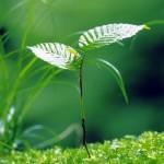 Росток-берёзы-nature-зелень-природа_large